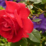 Co oznaczają róże we śnie?
