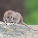 Szczur we śnie, znaczenie snu