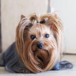 Pies york we śnie- co oznacza?